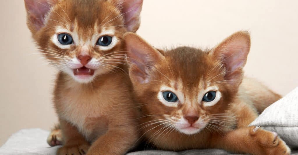 Buying Cat From a Pet Shop or From a Breeder